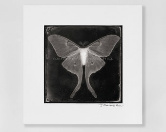 """Luna love moth as a 3x3"""" photographic print in a 5x5"""" white, acid free black core mat, frames available"""