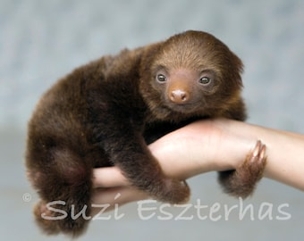 50% OFF SALE, Baby Sloth Photo, Baby Animal Nursery Art Print, Baby Animal Photo,  Animal Wall Art, Animal Nursery Decor, Baby Nursery Art