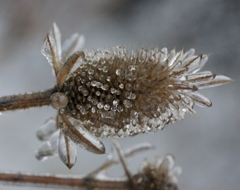 Close up, Teasel plants in an ice storm 8x10 photo (choose one)
