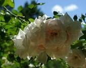 White Roses Rose Garden Botanical Photography Photo