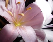 Pink Lady aka Belladonna Lily aka Naked Ladies Flower Blooming In Central Oklahoma On Hot July Day Dew Drops Yellow Stamens Instant Download