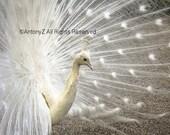 Beautiful White Peacock Displaying Feathers 8 x 10 Fine Art Print