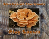 Chicken of the woods Mushroom Plug Spawn 50 Count Log Cultivation