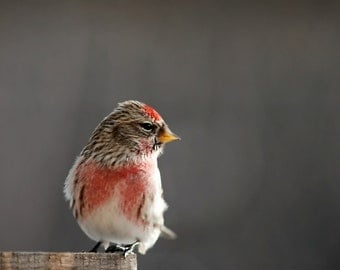 Common Redpoll Photography adorable bird,winter,red,digital print,home decor,scarlet,cardinal red,cute bird,gift,nature,bird lovers gift