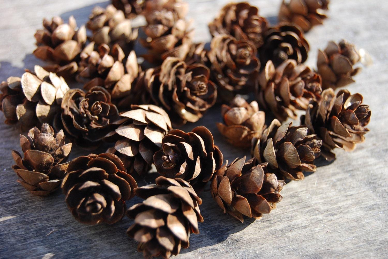 200 mini pinecones eastern hemlock cones handpicked in