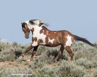 Picasso Leaps II - Fine Art Wild Horse Photograph - Wild Horse - Picasso - Sand Wash Basin - Fine Art Print