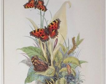 Botanical Biological Print, Great Tortoiseshell Butterflies, 19th Century Original, Caterpillar, Painted Ladies