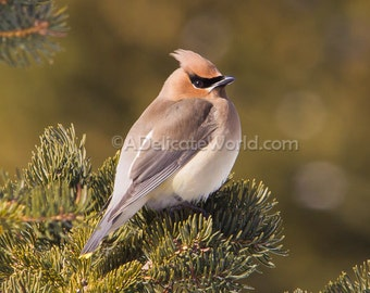 Cedar Waxwing Photo -  Woodland Bird Photography, Print 5x7