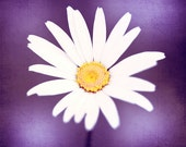 """Purple Photography, yellow white plum violet daisy flower photo colorful nature wall art modern floral nursery photograph, """"Pop of Purple"""""""