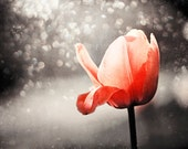 """Flower Photo Print - red grey orange black gray nature wall art large photography tulip picture botanical photograph, """"Drinking in the Sun"""""""