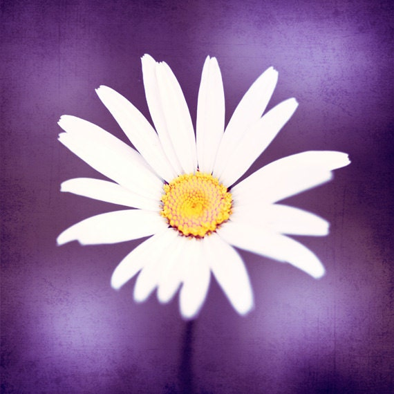 "Purple Photography, yellow white plum violet daisy flower photo colorful nature wall art modern floral nursery photograph, ""Pop of Purple"""