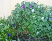 Morning Glory Heirloom Seeds Hazelwood Blues