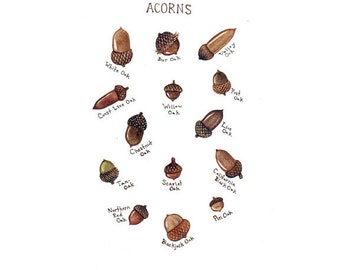 Acorns Field Guide Chart Watercolor Art Print