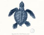 Coastal Decor Loggerhead Sea Turtle No. 2, Endangered Species Natural History Giclee Art Print 8x10