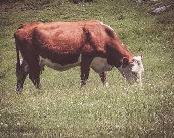 Cow Eating Grass Art Print New Zealand Nature Animal Photograhy Brown Cow Rustic Hunter Green Grass Field Home Decor  Wall Art