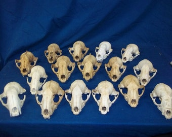 5 Real animal bone raccoon weird skeleton taxidermy Skull head part