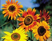 Sunflower Seed Mix, Bulk for seed packets