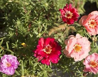 Heirloom 2000 Seeds Portulaca sun Purslane Moss Rose Pigweed Mixed Garden Flower Bulk Seeds B0115