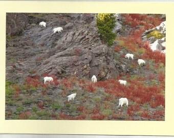 ELKHORN MTN GOATS, Pine Creek - Original Outdoor Scenery / Local Artist Digital Photo - Blank Photo Card Twin Fold Design - In Stock