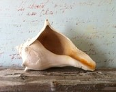 Calico Whelk Sea Shell from a Florida Beach ( 546)