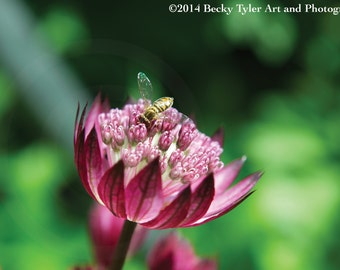 Pink Astrantia and Bumblebee Flower Fine Art Photo Print
