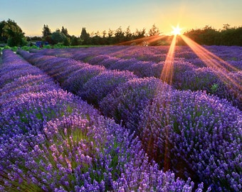Lavender Farm Photography, Sequim Washington, Rustic Wall Art, Pacific Northwest Photo, Flowers Nature Art Print, Purple Blue Green Picture