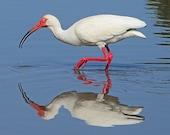 Coastal Birds, White Ibis, Nature Photography, Wall Art, North Carolina