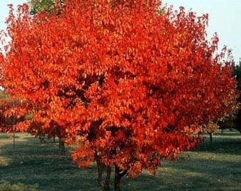 50 Amur Maple Tree Seeds, Acer ginnala, de-winged