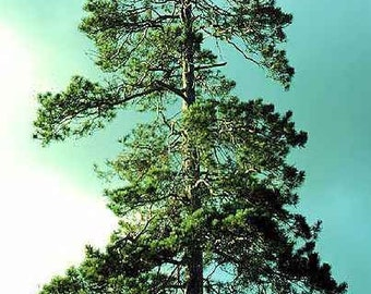 50 Red Pine Tree Seeds, Pinus resinosa