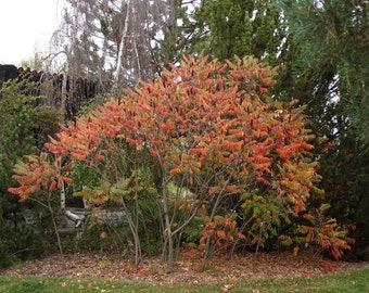 50 Smooth Sumac Tree Seeds, Rhus glabra