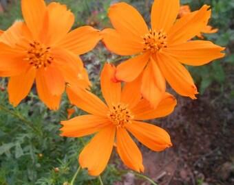 Bright Neon Orange Cosmos Seeds. 40 seeds