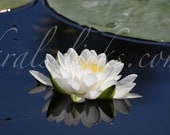 White Lotus Photograph, Dragonfly, Water Lily, Reflection, Fine Art Photography, Home or Office Wall Decor, Art, Photography, Lotus, Flower