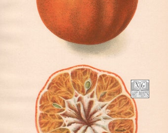 1900s Antique Fruit Print, Orange Art, Vintage Botanical Fruit Wall Hanging, Passmore Tangerine, Honeybell, Weshart Tangerines, USDA, 20