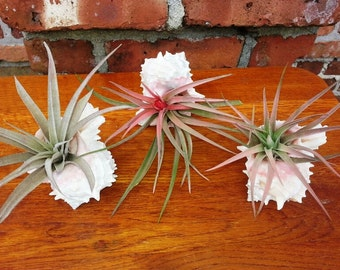 Three Colorful Capitata Peach Air Plants Hosted by Large Pink Murex Sea Shell Terrariums