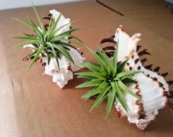 Pair Air Plants on Longtail Spine Sea Shells with Bushy Ionantha plants