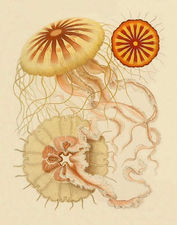 Vintage jellyfish illustration - photo#50