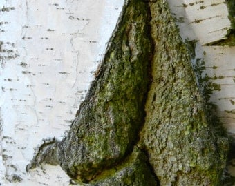Photography, bark of a white birch, high gloss, premium paper, signed