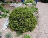 "Little Giant Dwarf Globe Arborvitae ( thuja ) Tree ( Quarts )  4-6"" Tall - Low Shipping"
