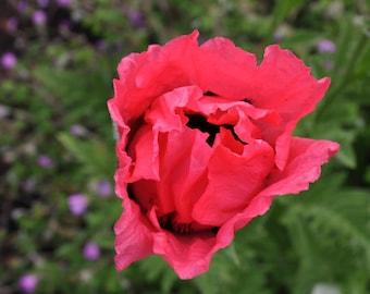 "Poppy ""Shirley"" double petaled poppy flower seeds"