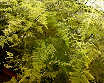 Asparagus plumosus, spider plant seeds,180,gardening, flower seeds,