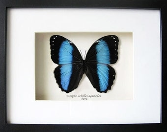 Large Blue Banded Morpho Achilles Real Butterfly In Shadowbox