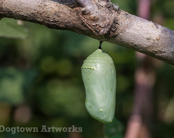 Dew Covered Chrysalis, large original photograph of a dew-covered monarch butterfly chrysalis hanging from a low branch