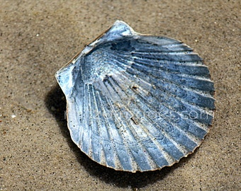 Blue Scallop Shell in Shallow Waters, Children's Beach Nantucket