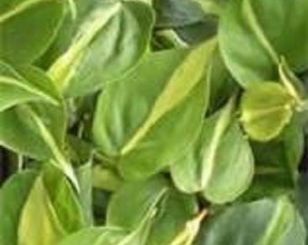 Variegated Green & Yellow Brazil Philodendron Starter Plant
