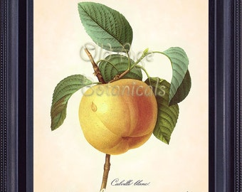 REDOUTE Antique French Fruit Print Large APPLE 8x10 Art Print Vintage Botanical Plate 12 Summer Garden Home Wall Decor Illustration FV1329