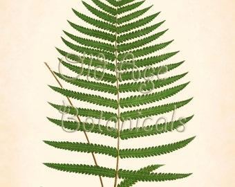 Fern Print Lowe 11x14 Botanical Vintage Antique Art Plate ASPIDIUM UNITUM Plant Nature History Engraving Green Leaves Giclee LFC0304