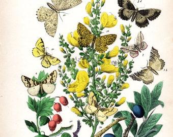 1882 Antique Butterfly Print Kirby Butterflies Natural History Entomology  Entomology  Butterfly Art