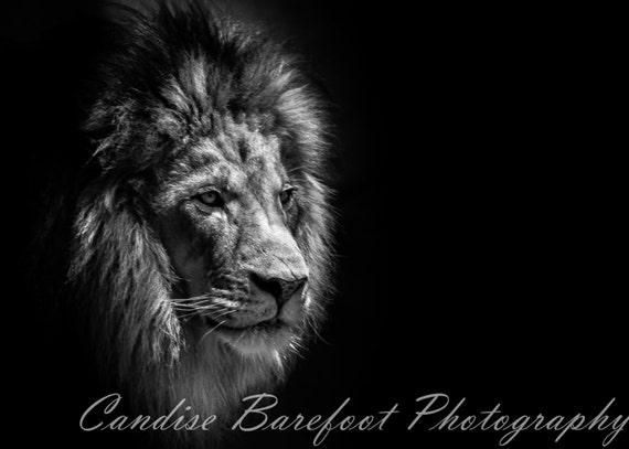 Les roi lion photographie noir et blanc animaux sauvages - Animaux du roi lion ...