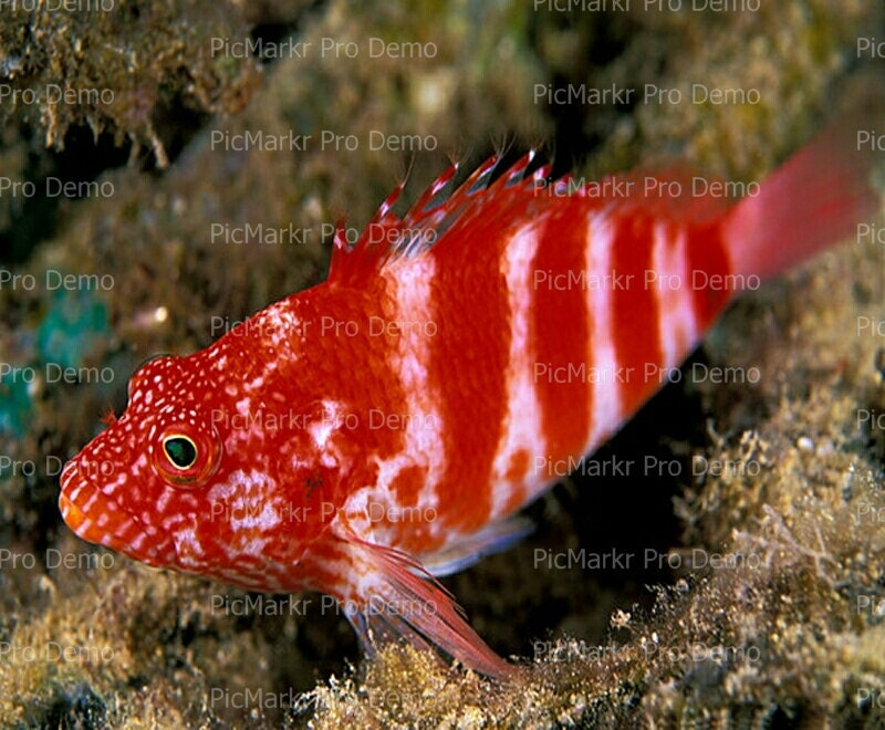 Saltwater fish edible small edible fish for sale by yali for Reef fish for sale