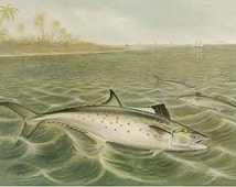 Image result for mackerel - vintage color lithograph